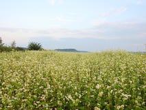 Beautiful white  buckwheat flowers  field, Lithuania Royalty Free Stock Image