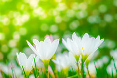 Beautiful White bunch flowers on green grass background . Royalty Free Stock Image