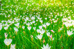 Beautiful White bunch flowers on green grass background . Stock Images