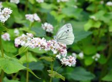 White butterfly on flowers, Lithuania. Beautiful white butterfly on blooming plant in summer stock image