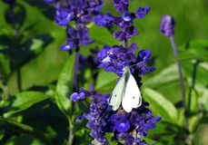 White butterfly on blue flower, Lithuania Royalty Free Stock Photography