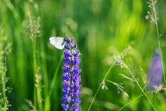 Beautiful white butterfly on blue lupine Stock Images