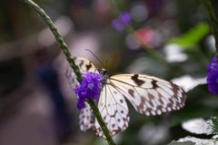 Beautiful white butterfly feeds from purple flower. A beautiful white butterfly feeds from a purple flower in a jungle setting stock image