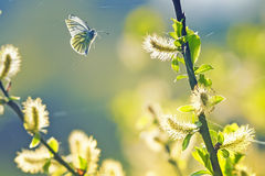 Beautiful white butterfly flitting among the willow branches blooming Royalty Free Stock Photos