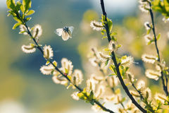 Beautiful white butterfly flitting among the willow branches blooming Stock Image