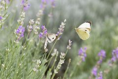 Beautiful white butterfly over the violet Lavender flowers. Close-up of flower field background royalty free stock image