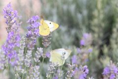 Beautiful white butterfly over the violet Lavender flowers. royalty free stock photos