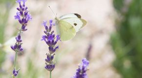 Beautiful white butterfly over the violet Lavender flowers. stock photos