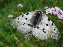 Beautiful white butterfly - a photo 1 Royalty Free Stock Image