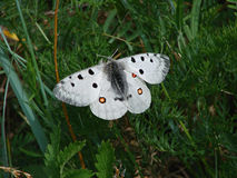 Beautiful white butterfly - a photo 2 Royalty Free Stock Images