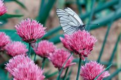 Beautiful white butterfly on a pink flower. The insect is close-up. Bright photo royalty free stock images