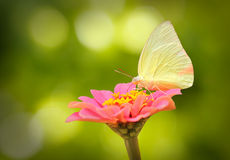 Beautiful white butterfly on pink zinnia flower on a spring day Royalty Free Stock Photo
