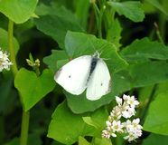 White butterfly on plant , Lithuania. Beautiful white butterfly on plant in summer stock images
