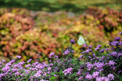 Beautiful white butterfly sits on flowers Royalty Free Stock Photos