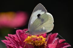 Beautiful white butterfly on pink flower royalty free stock photography