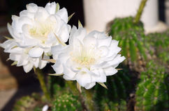 Beautiful white cactus flower in Thailand Royalty Free Stock Image