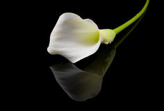 Beautiful white Calla lilies royalty free stock photography