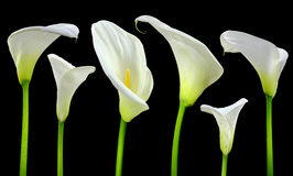 Beautiful white Calla lilies. On black background Royalty Free Stock Photos