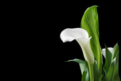 Beautiful white calla lilies with green leaves over black background Stock Image