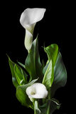 Beautiful white calla lilies with green leaves over black background Stock Photo
