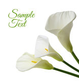 Beautiful white Calla lilies. Isolated on white background Stock Image