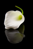 Beautiful white Calla lilly Royalty Free Stock Images