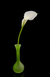 Beautiful white Calla lilly in green vase Stock Photos