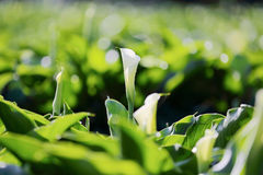 Beautiful white Calla Lily blooming in a large garden stock photos