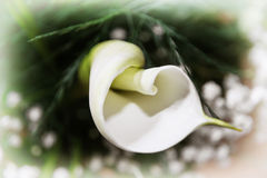 Beautiful white Calla lily flower, detailed natural scene Royalty Free Stock Photo