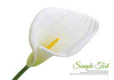 Beautiful white Calla lily. Isolated on white background Stock Photo