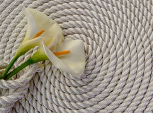Beautiful white Calla lily over rope Stock Image