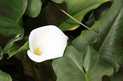 A beautiful white Callas lily Stock Image