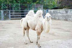 Beautiful white camel with funny face. Walking on the zoo in Odessa, Ukraine Royalty Free Stock Photo
