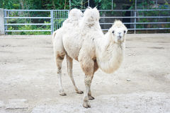Beautiful white camel with funny face. Walking on the zoo in Odessa, Ukraine Royalty Free Stock Image
