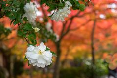 White Japanese Camellia flower with soft focus orange autumn trees. Beautiful white Camellia flowers with soft background of autumn trees in Kyoto, Japan stock photo