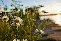 Beautiful white camomiles Royalty Free Stock Photography