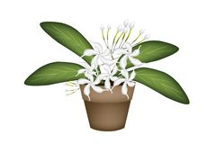 Beautiful White Cape Jasmine A Terracotta Pot Royalty Free Stock Image