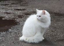 Beautiful white cat Stock Image