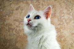 A beautiful white cat with blue eyes is closely watching something. Up Stock Photos