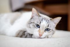 White cat lying on the sofa royalty free stock image