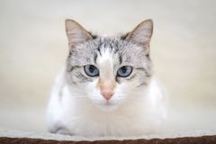 White cat lying on the sofa. Beautiful white cat with blue eyes lies on the couch and looking at the camera Stock Photos