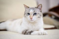 White cat lying on the sofa. Beautiful white cat with blue eyes lies on the couch stretching out his front paws Stock Image