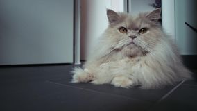 Beautiful white cat lying on the floor. Persian cat. 4k stock video footage