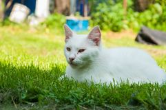 A beautiful white cat lying on a green grass on the sun. Kitten pet cute fur adorable mammal furry nature soft eye comfortable animal looking summer playful royalty free stock photo