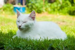 A beautiful white cat lying on a green grass on the sun. Kitten pet cute fur adorable mammal furry nature soft eye comfortable animal looking summer playful stock photography