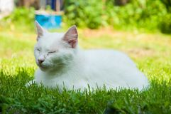 A beautiful white cat lying on a green grass on the sun. Kitten pet cute fur adorable mammal furry nature soft eye comfortable animal looking summer playful stock photos
