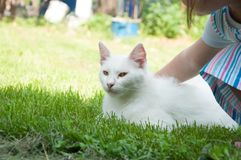 A beautiful white cat lying on a green grass on the sun. Kitten pet cute fur adorable mammal furry nature soft eye comfortable animal looking summer playful stock images