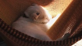 Beautiful white cat relaxing in the sun in red hammock. stock footage