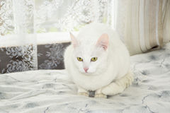 Beautiful white cat Royalty Free Stock Photos