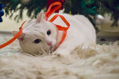 Beautiful white cat wearing Christmas thin red ribbon Royalty Free Stock Images
